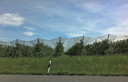 Road fruit trees