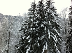 GSTAAD PINE TREES