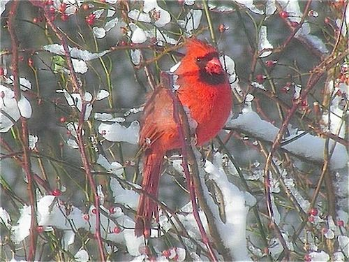 Cardinal in tree horizontal