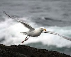 Gull taking off from waves 3.5
