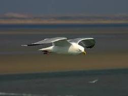 Gull soaring 35
