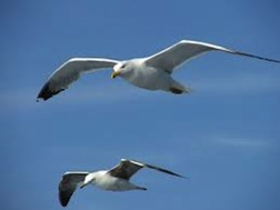 Two gull soaring