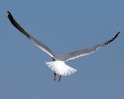 Gull in flight bak view 3.5