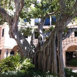 BANYON TREE 1 3.5