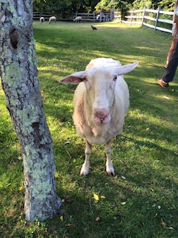 SHEEP 3.5