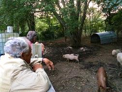 PIGS 3.5