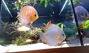Angle fish 1 3.5