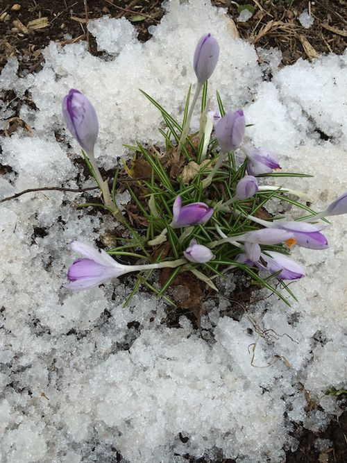 CROCUSUSES W:SNOW 7