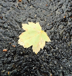 Maple on pavement 3.5