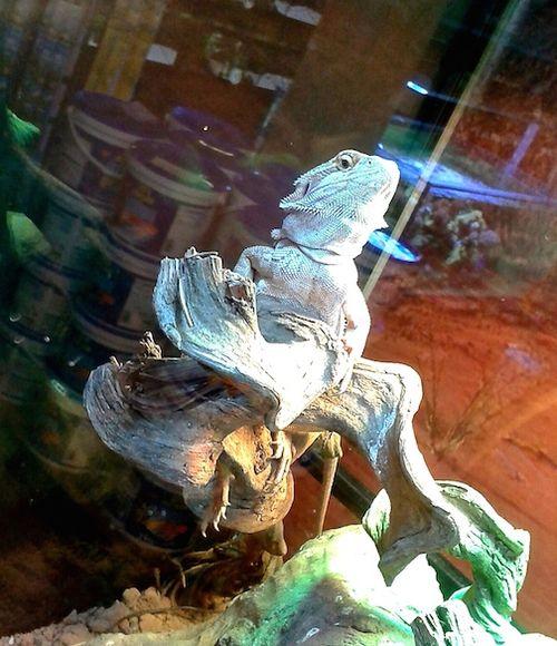 Iguana 71